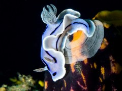 Nudibranch laying eggs - Photographed in Anilao, Philippines