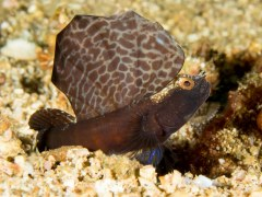 Magnificent Goby - Photographed in Anilao, Philippines