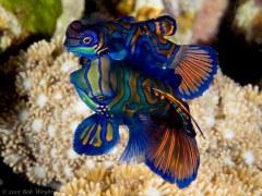 Mandarin Fish - Photographed in Bali, Indonesia