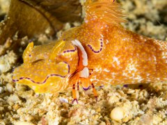 Nudibranch with Emperor Shrimp - Photographed in Anilao, Philippines