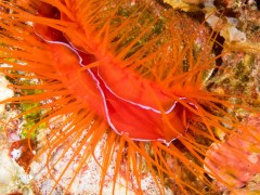 Electric Clam - Photographed in Anilao, Philippines