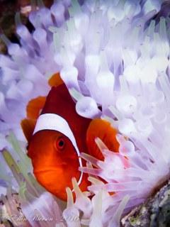 Anemone Fish – Papua New Guinea