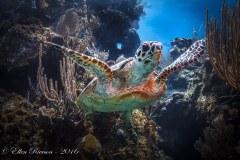 Turtle Takeoff – Little Cayman