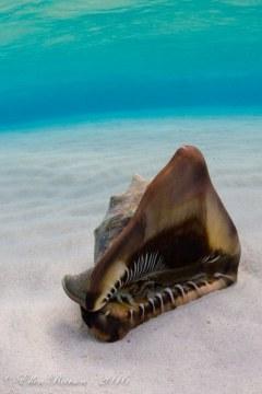 Queen Conch – Stingray Sandbar (Grand Cayman)