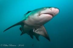 Lemon Shark – Jupiter, FL
