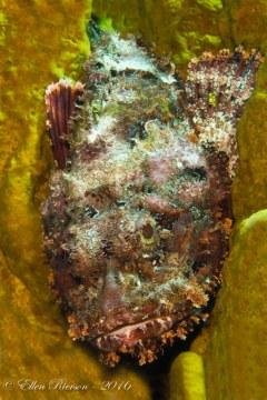 Scorpion Fish in Sponge – Grand Cayman