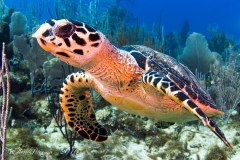 Young Hawksbill Turtle – Grand Cayman