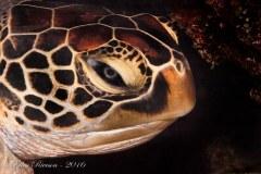 Turtle Profile – Palau