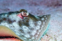 Yellow Spotted Stingray – Grand Cayman