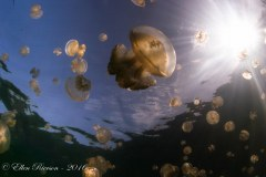 Jellyfish Lake – Palau
