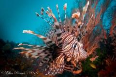 Lion Fish – Raja Ampat