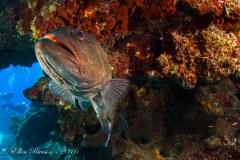 Grouper – Grand Cayman