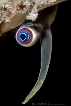 Conch Eye, Strombus