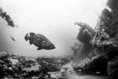 Goliath Grouper on the Esso Bonaire Wreck
