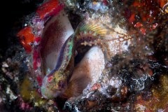Seaweed Blenny with eggs