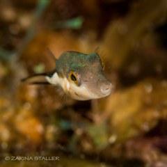 PUFFER FISH: Photographed in Fiji