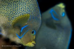 TWIN ANGELS: Two angel fish photographed in Cayman Islands