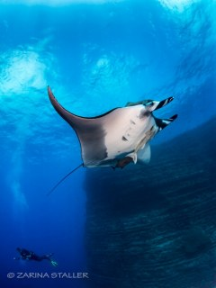 GIANT PACIFIC MANTA: Photographed at The Boiler, San Benedicto Island, Mexico
