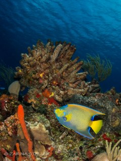 PEACEFUL ANGEL FISH: Photographed at Cozumel Island, Mexico