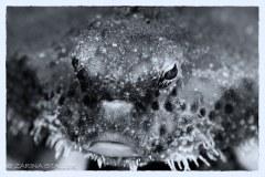 POLKA-DOT BATFISH: Photographed at BHB, Florida