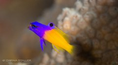 FAIRY BASSLET FISH: Photographed in Cayman Islands