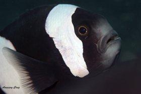 Black and white Percula Clownfish (Amphiprion ocellaris) in Raja Ampat.