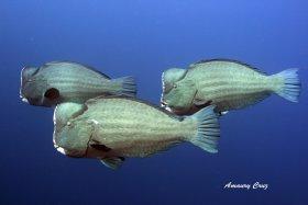 Bumphead Parrotfish (Bolbometopon muricatum).