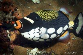 Clown Triggerfish (Balistoides conspicillum) in Indonesia.