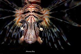 Common-Lionfish-Pterois-volitans-004