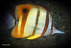Copperband Butterflyfish (Chelmon rostratus) in Raja Ampat.