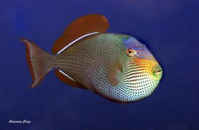 Crosshatch triggerfish (Xanthichthys mento) in Hawaii.