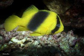 Doublebanded Soapfish (Diploprion bifasciatum) in Indonesia.