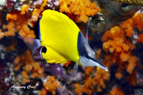 Long Nose Butterflyfish (Forcipiger Flavissimus) in Hawaii.