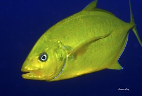 Orange-Spotted Trevally (Carangoides bajad) in Indonesia.