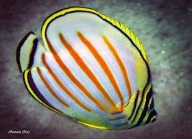 Ornate Butterflyfish (Chaetodon ornatissimus) in Hawaii.