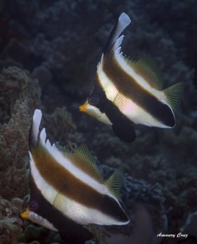 Pennant Bannerfish (Heniochus acuminatus) in Indonesia.