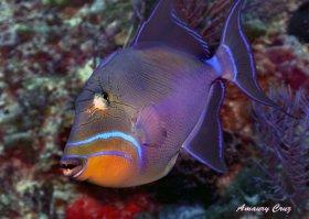 Queen Triggerfish or Old Wife (Balistes vetula) in Hawaii.