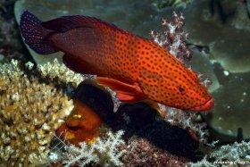 Red Hind (Epinephelus guttatus) in Indonesia.