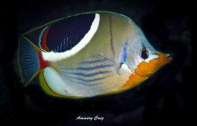 Saddleback Butterflyfish (Chaetodon ephippium) in Sorong.