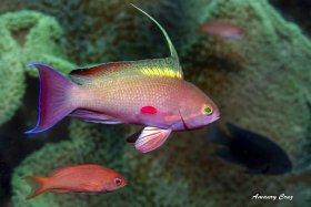 Scalefin Anthias (Anthias Squamipinnis) in Indonesia.