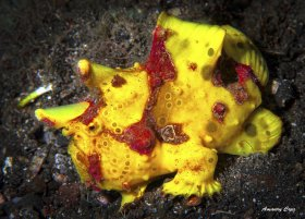 Yellow Clown or Worty Frogfish (Antennarius maculatus) in Lembeh.