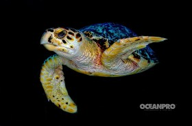 Hawksbill Sea turtle. Grand Bahama, Bahamas