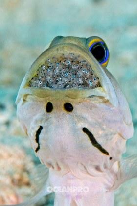 Jawfish with eggs. Grand Bahama, Bahamas