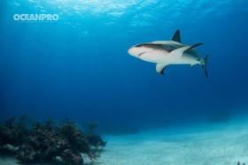 Caribbean Reef Shark. Grand Bahama, Bahamas