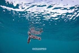 Leatherback Hatchling. Pompano Beach, Florida