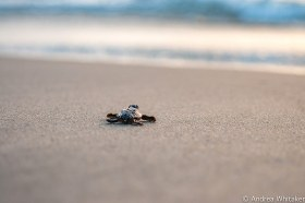 A straggler Loggerhead hatchling that was found making its way to the ocean for the first time. It's siblings had already left the nest the evening before.