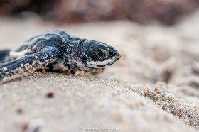 A Leatherback hatchling that I found still sleeping on the sand just above the nest at sunrise. This little one dug its way out of the nest, which can be over 30 inches deep in the sand, then needed a break before it's last dash to the ocean.