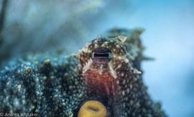 Octopus Glare Stare. Common Octopus at BHB.