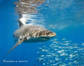 Great White Shark Reflection