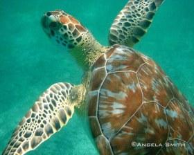 Juvenile Green Turtle